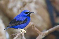 Yellow legged Honeycreeper (Cyanerpes caeruleus) Stock Photos
