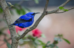 Yellow legged Honeycreeper. Royal blue in color, sits on branch of tree Royalty Free Stock Images