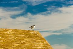 Yellow-legged seagull perching on a hut at Paseo Fernando Quinones stock photography