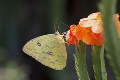 Yellow lemon butterfly, photo taken with macrolens Royalty Free Stock Images