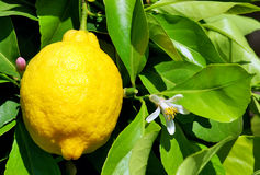Yellow lemon and flower. Stock Images