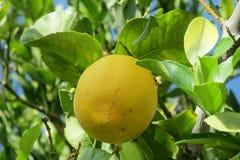 Yellow lemon fruit on the tree Stock Image