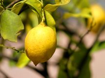 Yellow lemon on the soles of the Orchard Stock Photos