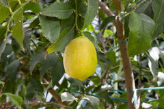 Yellow lemon in tree Stock Photos