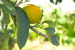Yellow lemon on the tree royalty free stock image