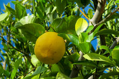 Yellow lemon on the tree Stock Photo