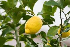 Yellow lemon on the tree, Spain Stock Photo
