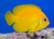 Yellow Lemonpeel Angelfish Royalty Free Stock Image