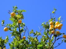 Yellow Lemons and Blue Sky Stock Photos