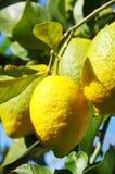 Yellow lemons on branch Stock Image