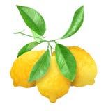 Yellow lemons on green branch stock photography