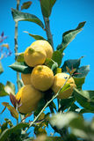 Yellow lemons hanging on tree Royalty Free Stock Photography