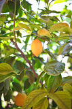 Yellow lemons hanging on tree Stock Photography