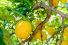 Yellow lemons hanging on tree. Horizontal frame with  lemons on Royalty Free Stock Photos