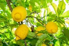 Yellow lemons hanging on tree. Horizontal frame with  lemons on Stock Photo