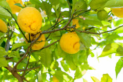 Yellow lemons hanging on tree. Horizontal frame with lemons on Stock Image