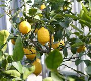 Yellow lemons hanging from the tree Royalty Free Stock Photo