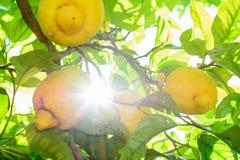 Yellow lemons hanging on tree with sunbeam. Horizontal frame wit Stock Images