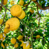 Yellow lemons hanging on tree. Vertical view with lemons and flo Royalty Free Stock Images