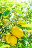 Yellow lemons hanging on tree. Vertical view with lemons and flo Stock Photo