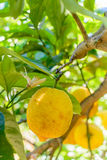 Yellow lemons hanging on tree. Vertical view with lemons on tree Stock Photo