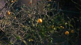 Yellow lemons on a lemon tree. In Montenegro stock video