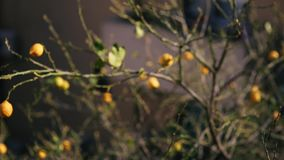 Yellow lemons on a lemon tree. In Montenegro stock video footage