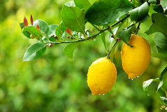 Yellow Lemons On Tree Stock Images