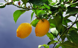 Yellow lemons on tree Stock Image