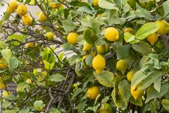 Yellow lemons on tree branches stock images