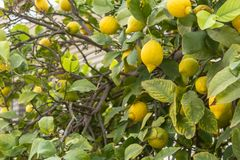 Yellow lemons on tree branches royalty free stock images