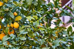 Yellow lemons on the tree royalty free stock photos