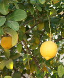 Yellow lemons on the tree Stock Photography