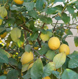 Yellow lemons on the tree Royalty Free Stock Photography