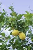 Yellow lemons on tree Stock Image
