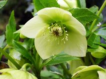 Yellow lenten rose. Light yellow oriental hellebore flower close up seen from underneath royalty free stock photos