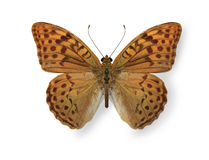 Yellow leopard butterfly isolated on white Royalty Free Stock Photography