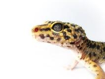 Yellow leopard gecko (1) Stock Image