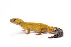 Yellow leopard gecko on white background Stock Photo