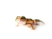 Yellow leopard gecko (3) Stock Photo
