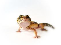 Yellow leopard gecko Stock Images