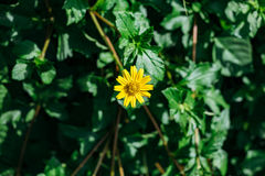 Yellow Leopard`s Bane Flower with green leaf in the background Stock Photo