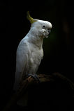 Yellow lesser sulphur-crested cockatoo. In the dark royalty free stock photo