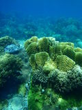 Yellow lettuce coral. In the pacific ocean stock image