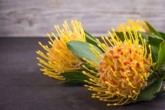 Yellow leucospermum cordifolium flower pincushion protea Royalty Free Stock Photo