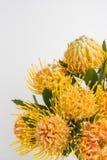 Yellow leucospermum cordifolium flower pincushion protea Stock Photo
