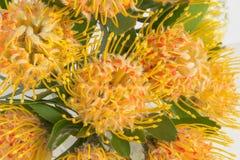 Yellow leucospermum cordifolium flower pincushion protea Royalty Free Stock Photography