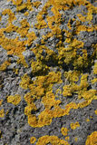Yellow Lichen. On a rock royalty free stock photos