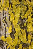Yellow lichen Royalty Free Stock Image
