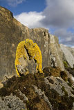 Yellow lichen Royalty Free Stock Photography